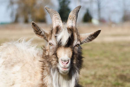 Young horned goat with white and brown hair on a pasture on a bright sunny day Standard-Bild
