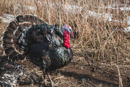 Black iridescent turkey on a farm yard on a sunny day Standard-Bild