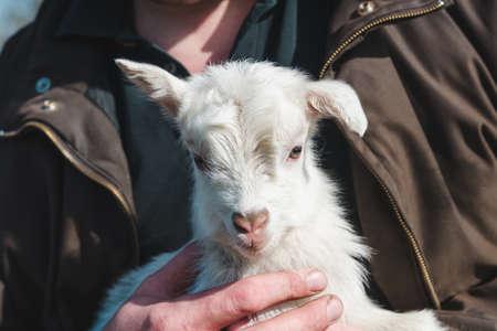 White little newborn goat in male hands Standard-Bild
