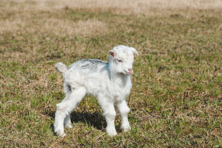Little funny newborn goatling with white and gray hair in a spring pasture