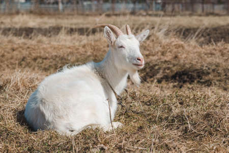 Beautiful young white goat with horns is resting in the pasture and looks into the distance
