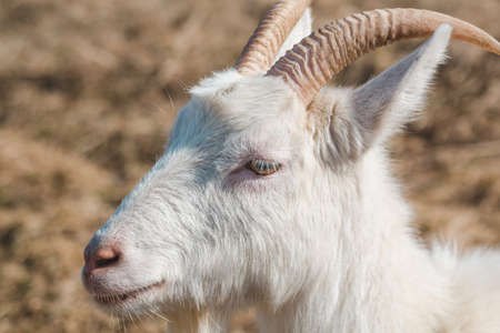 Head of a white young goat with horns on grazing close-up Standard-Bild