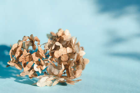 A branch of dry hydrangea flowers on a blue background in bright natural light