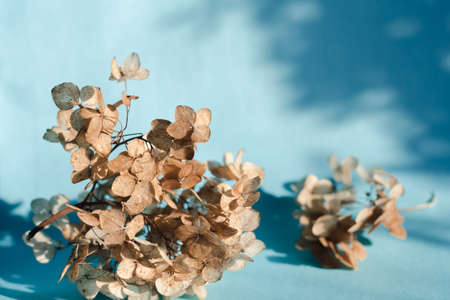 Branches of dry hydrangea flowers on a blue background in bright natural light