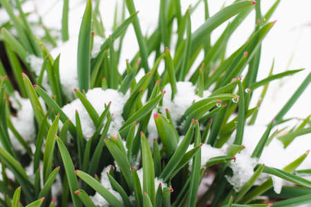 Green sprouts of daffodils with water drops and covered with April snow, selective focus Standard-Bild