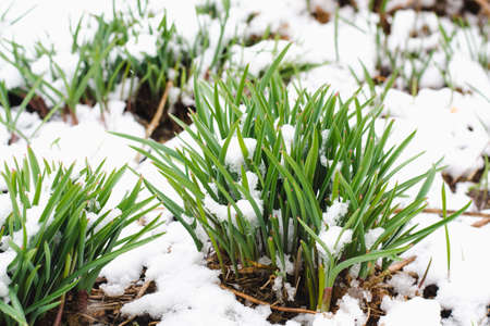 Green sprouts of daffodils covered with April snow