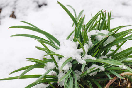 Green sprouts of daffodils covered with April snow, selective focus