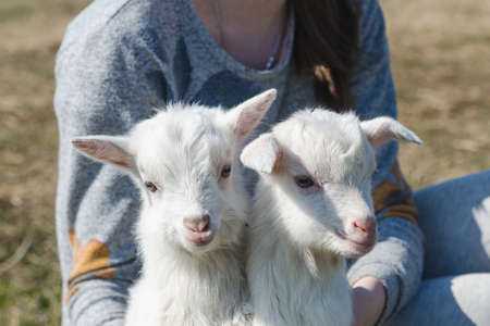 Two funny little white goatlings in the hands of a girl on a sunny day