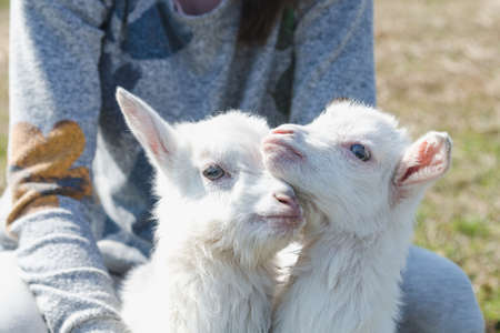 Two funny little white goats in the hands of a girl on a sunny day Standard-Bild