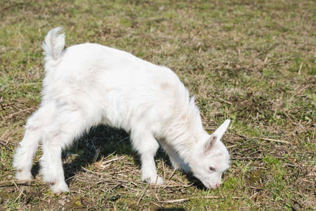 Little goatling with white fur in a spring pasture
