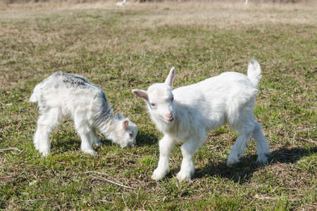 Little funny newborn goatlings in a spring pasture
