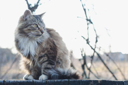 Fluffy tabby cat with white breasts on a bench in the evening sunlight