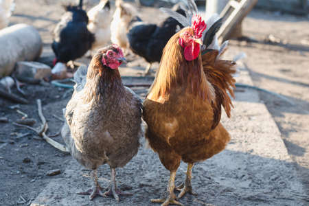 Ginger rooster and gray hen on the path of the farm yard