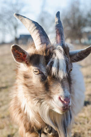 Head of a young goat with white and brown fur on a sunny pasture close up Standard-Bild