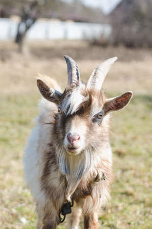 Young horned goat with white and brown fur on a pasture on a bright sunny day