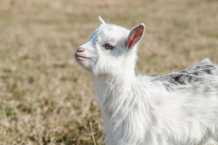 Little funny goatling with white and gray fur in a spring pasture Standard-Bild