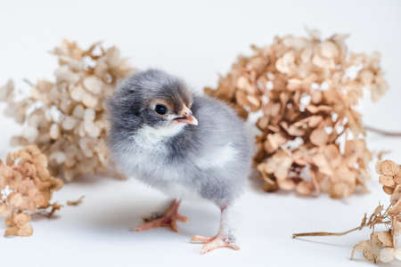 Beautiful newborn chick with blue and white fluff on a white surface against a background of dry hydrangea Standard-Bild
