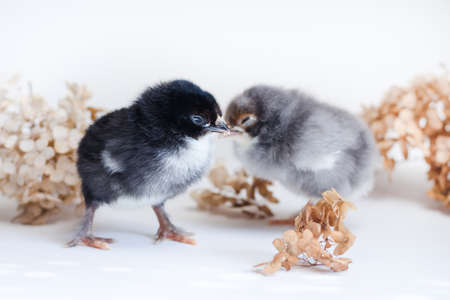 Two newborn chickens with black and gray fluff on a white surface against a background of dry hydrangea