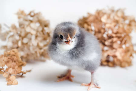 Beautiful newborn chick with blue and white fluff on a white surface against a background of dry hydrangea close up Standard-Bild