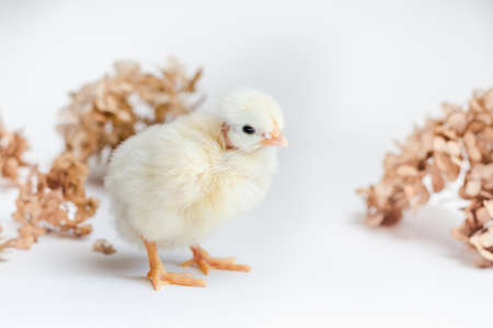 White newborn chicken and dry hydrangea on white surface