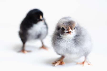 Gray and black newborn chicks on a white background, selective focus Standard-Bild