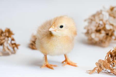 Red newborn chicken and dry hydrangea on white background Standard-Bild