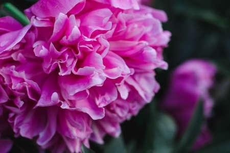 Pink peony flower close up, soft focus Standard-Bild