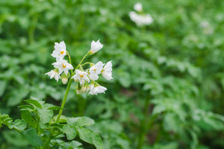 White flowers of potatoes on a farm field close up