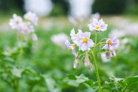 Lilac flowers of potatoes on a farm field close up Standard-Bild