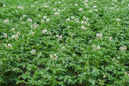 A farm potato field with light purple flowers. Natural and organic farming. Standard-Bild