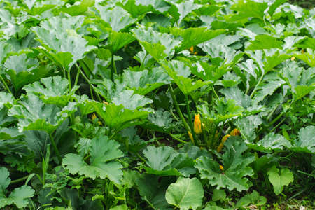 Farm field of young zucchini with large green leaves