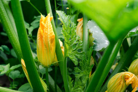 Plant zucchini with yellow flowers in the garden close-up