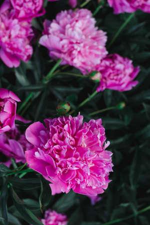 Pink peony flowers close up Standard-Bild