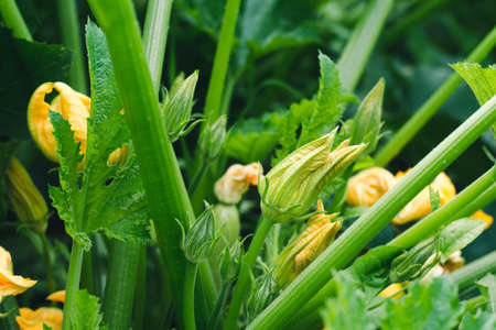 Zucchini with yellow flowers in the garden close-up Standard-Bild