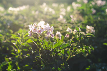 Lilac flowers of potatoes on a farm field in the evening sunshine close up Standard-Bild