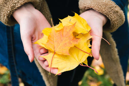 Yellow maple leaves in the hands of a girl in an autumn park Standard-Bild