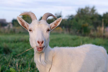 Beautiful horned white goat eating grass in the pasture