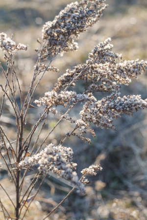 A branch of a dry plant in the backlight of the evening sunlight