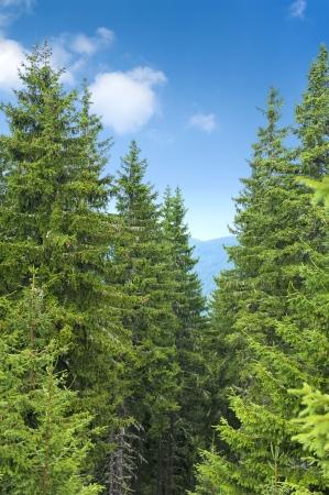 Alberi di pino in giornata estiva