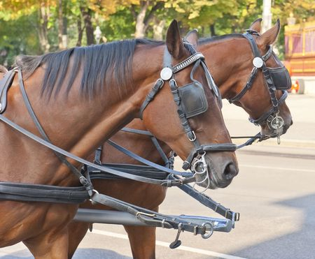 blinder: Two beautiful horses chained to a carriage.