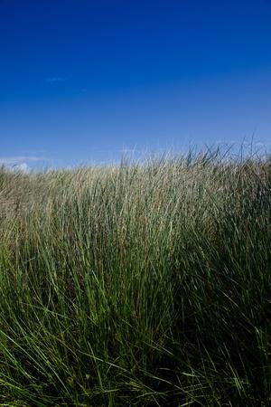 野草: wild grass and blu sky