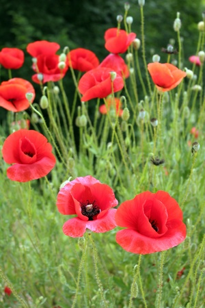 Poppies in field  photo