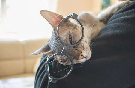 Sphinx cat with glasses lies on a man's shoulder at home. Funny bald cat pet. Place for text. Copy space. Imagens