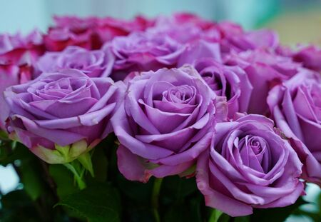 Bud of purple blossoming roses on blue background