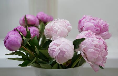 Bud of pink blossoming peony gray background