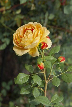 One yellow beautiful blossom rose