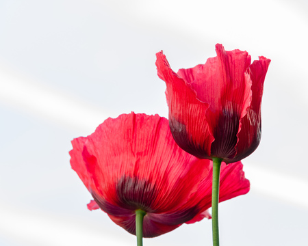 2 Red Oriental Poppies  against white background Stock Photo