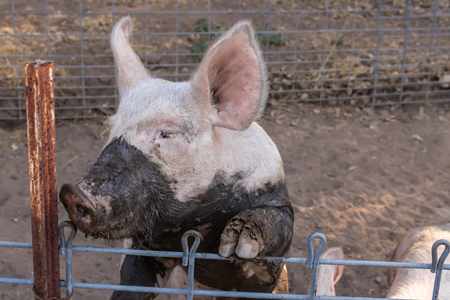 domestic: Close up headshot of serious single dirty young domestic pink pig with muddy face and big ears Stock Photo