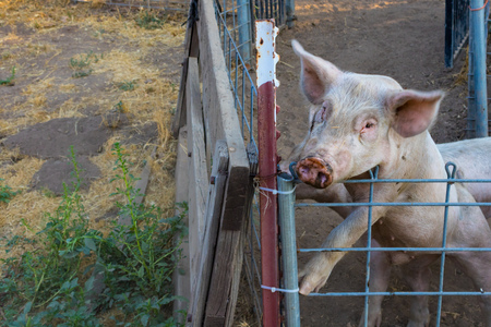 domestic: Headshot of single dirty young domestic pink pig standing on hind legs looking over wire pen Stock Photo