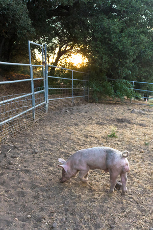 domestic: Single young pink dirty domestic pig with cute curly tail, one hoof raised entire pet pig visible, sunset light
